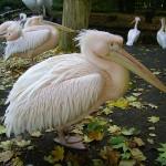 Tierpark Rosa_Pelikan